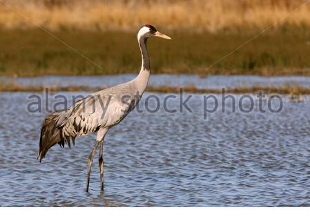 Common crane, Grus grus, birds - Stock Photo