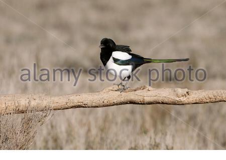 Common magpie, Pica pica - Stock Photo