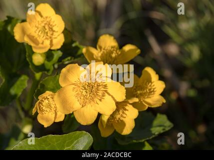 Kingcup or Marsh Marigold - Caltha palustris - wild flowers - Stock Photo
