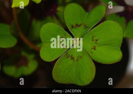 The picture shows new year wishes with a lucky clover - Stock Photo