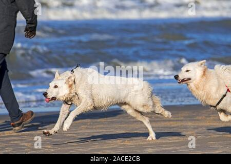 Two unleashed Berger Blanc Suisse dogs / White Swiss Shepherds, white form of German Shepherd dog running past walker on the beach