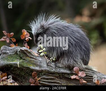 Porcupine playing and posing in Autumn leaves - Stock Photo