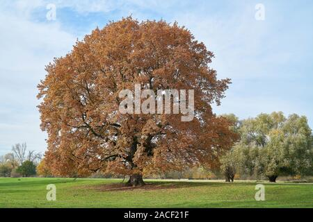 old English oak (Quercus robur) on a meadow in the Herrenkrugpark near Magdeburg - Stock Photo