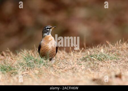 An American robin Turdus migratorius foraging for food in Fall grass