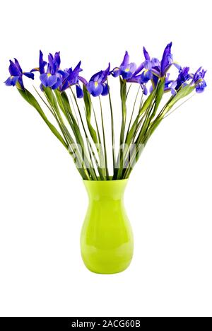 A fresh cut bouquet of blue flag iris flowers with long stems in a lime green glass vase. Isolated on white background. - Stock Photo