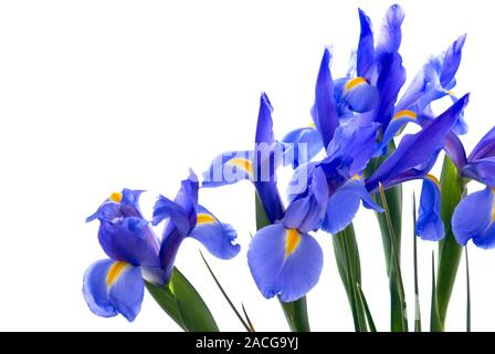 Fresh cut blue flag iris flowers form a border on an isolated white background. - Stock Photo