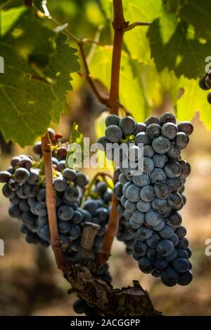Montalcino valley, Siena, luxury vineyard and cultivation of wine grapes, processing and care in the land of red and white Tuscan wines like Brunello