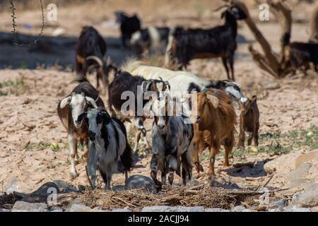 A partially domesticated group of goats (Capra aegagrus hircus) runs around in search of food along the dry desert environment in Ras al Khaimah, Unit - Stock Photo