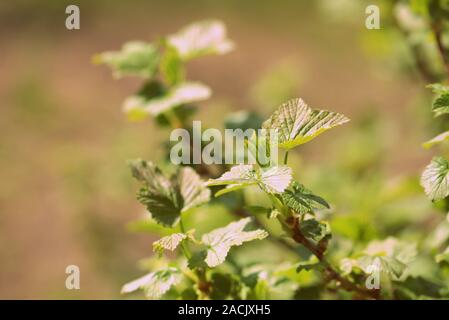 FLowering red currant bush in the spring garden close up - Stock Photo