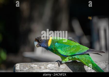 Australian Ringneck Parrot (Barnardius zonarius) against a dark background - Stock Photo