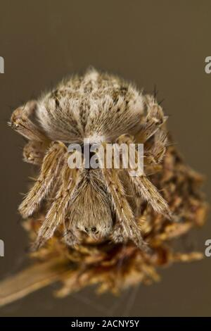 spider on attack position - Stock Photo