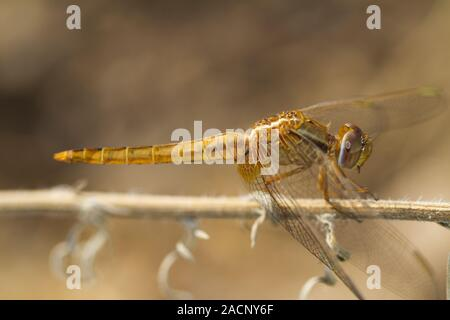 scarlet darter (Crocothemis erythraea) dragonfly - Stock Photo