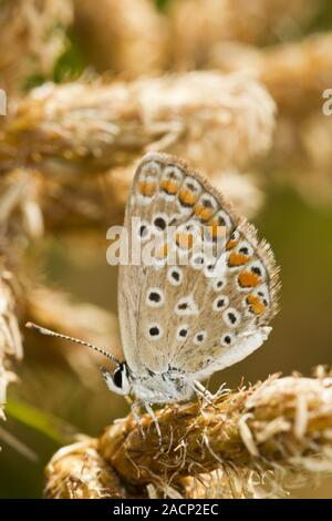 Southern Brown Argus (Aricia cramera) butterfly