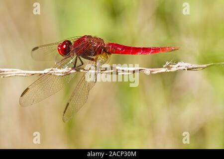 Scarlet Darter (Crocothemis erythraea) - Stock Photo