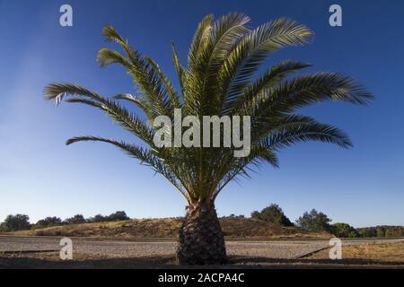 Date Palm Tree (Phoenix dactylifera) - Stock Photo