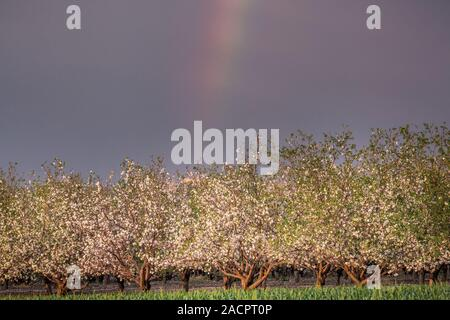 Scenic view with corn field and rainbow over almond grove blooming with beautiful flowers in February near Monastery Of Silence - Latrun Trappist Mona - Stock Photo
