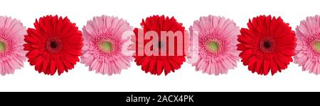 Red and pink gerbera flowers border on white background isolated close up, gerber flower seamless pattern, decorative frame, floral ornamental line - Stock Photo