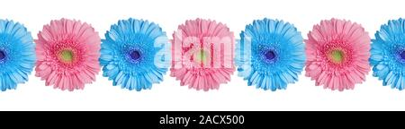 Blue and pink gerbera flowers border on white background isolated close up, gerber flower seamless pattern, decorative frame, floral ornamental line - Stock Photo