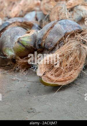 Coconut husk / Coir is the fibrous husk and pithy dust that makes up the outer layer ripe coconut. - Stock Photo
