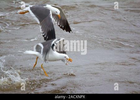 Northern herring gull or lesser black-backed gulls (Larus heuglini) on the Pechora sea. Russian Arctic - Stock Photo