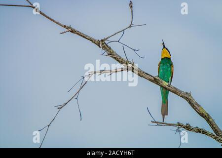 European bee-eater with a Bee in the Kruger National Park - Stock Photo