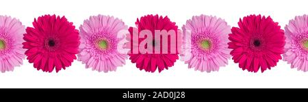 Pink and purple gerbera flowers border on white background isolated close up, red gerber flower seamless pattern, decorative frame, floral ornament - Stock Photo