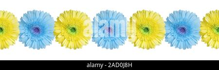 Blue and yellow gerbera flowers border on white background isolated close up, gerber flower seamless pattern, decorative frame, floral ornamental line - Stock Photo
