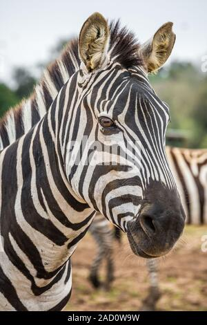 The Grevy's zebra (Equus grevyi), also known as the imperial zebra, is the largest living wild equid and the largest and most threatened of the three - Stock Photo