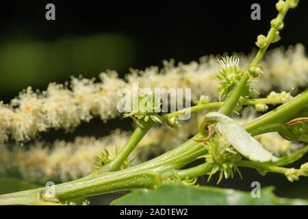 Castanea sativa, Esskastanie, Sweet chestnut, weibliche Blüten, female flowers - Stock Photo