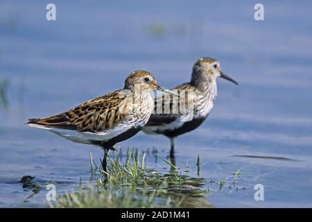 Dunlin, adult birds in breeding plumage show the distinctive black belly - Stock Photo