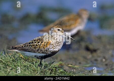 Dunlin, the female lays usually 4 eggs  -  (Photo adult birds in breeding plumage) - Stock Photo