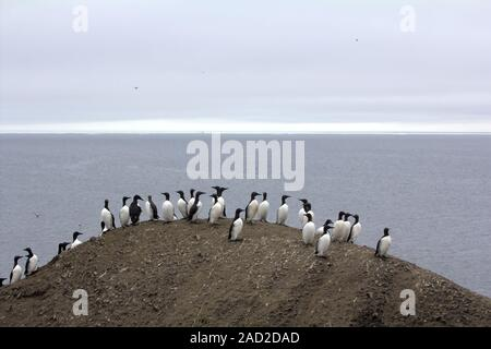 Common guillemots spectacled morphs sit over the Barents sea, Novaya Zemlya 1 - Stock Photo