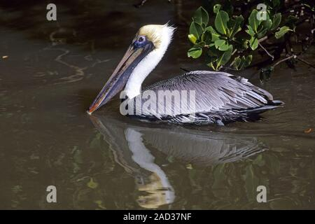 Brown Pelican lives in flocks of both sexes throughout the year  -  (Photo adult bird) - Stock Photo
