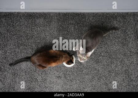 two cats eating from the same feeding bowl sharing cat food - Stock Photo