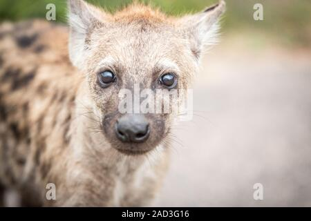 Young Spotted hyena in the Kruger National Park, South Africa. - Stock Photo