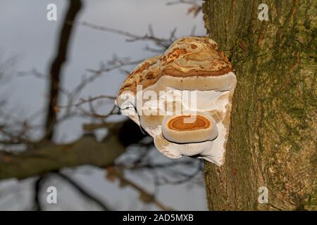A woody Beeswax bracket fungus, also called conk, on the bark of a dying Oak tree - Stock Photo