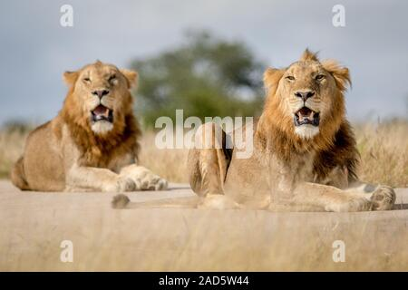 Two young male Lion brothers in Kruger. - Stock Photo