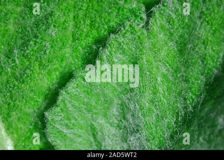 Fluffy burdock young small leaves texture close up detail, macro natural organic background, top view - Stock Photo