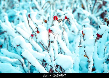 Dry red rosehip berries covered with white fluffy snow. - Stock Photo