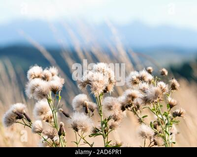 thistle on a mountain meadow - Stock Photo