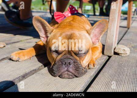 French bulldog sleeping on brown terrace - Stock Photo