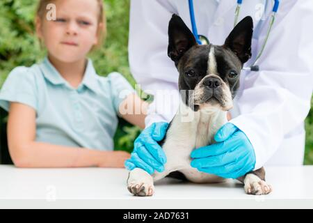 A veterinarian examining a little Boston Terrier dog in the presence of a young girl owner - Stock Photo