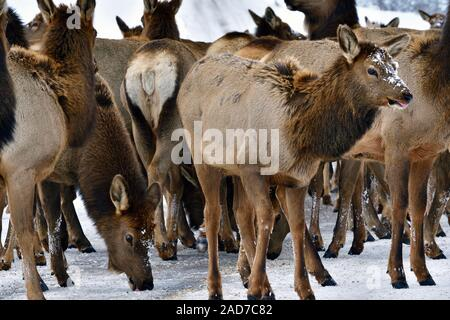 A close up image of a herd of wild elk 'Cervus elaphus', licking mineral salt from the road surface in rural Alberta Canada - Stock Photo