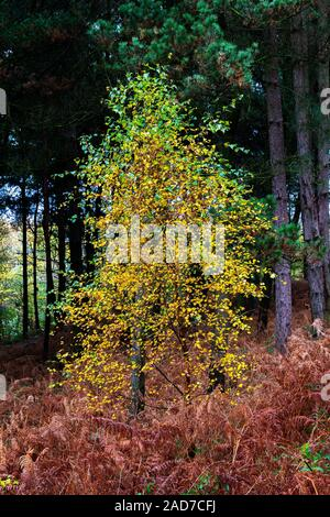 Young Silver Birch tree in a clearing of Daresbury Firs, Warrington, against a backdrop of fir trees and groundcover of golden ferns - Stock Photo