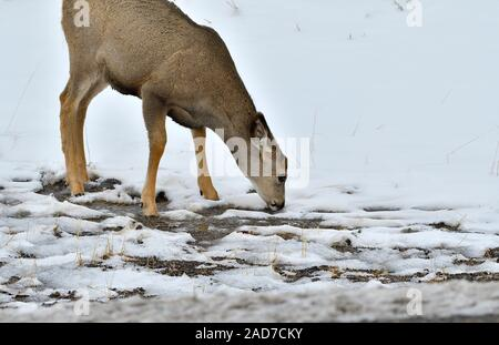 A female mule deer ' Odocoileus hemionus'. drinking some melt water along the side of a road in rural Alberta Canada