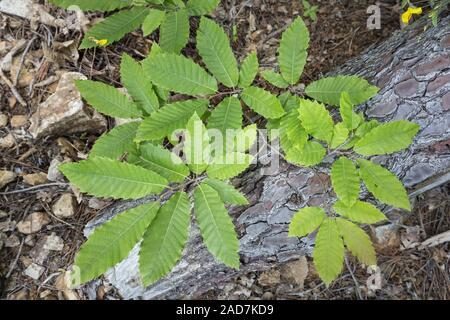 Sweet chestnut leaves (Castanea sativa) - Stock Photo