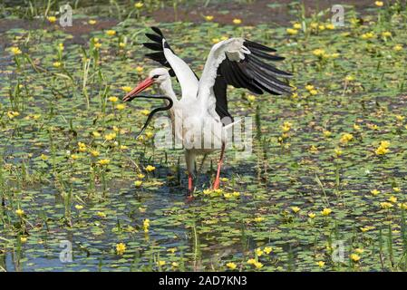 a white stork catches and eats snake in the nature reserve kuehkopf, hesse, germany - Stock Photo