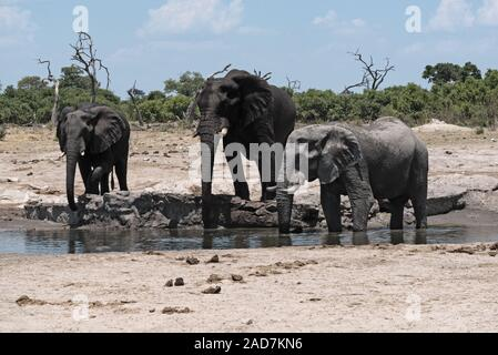 Elephant group at a waterhole in Chobe National Park in Botswana - Stock Photo