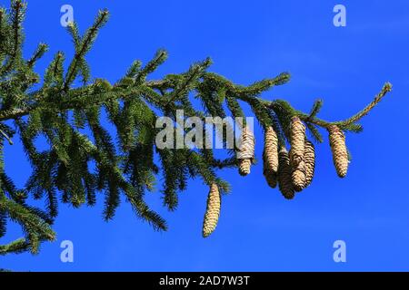 Norway spruce with cones, Common spruce, Picea abies - Stock Photo