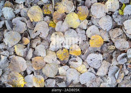 Quaking Aspen leaves on forest floor (Populus tremuloides), Fall, Minnesota, USA, by Dominique Braud/Dembinsky Photo Assoc - Stock Photo